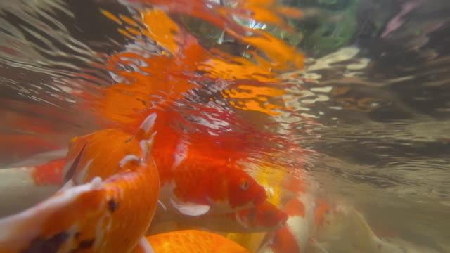 池で食べる水中鯉の魚。 ビデオ