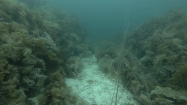 underwater landscape, seabed overgrown with Laminaria and Sea Lace (Chorda filum) underwater landscape, seabed overgrown with Laminaria and Sea Lace (Chorda filum) kelp stock videos & royalty-free footage