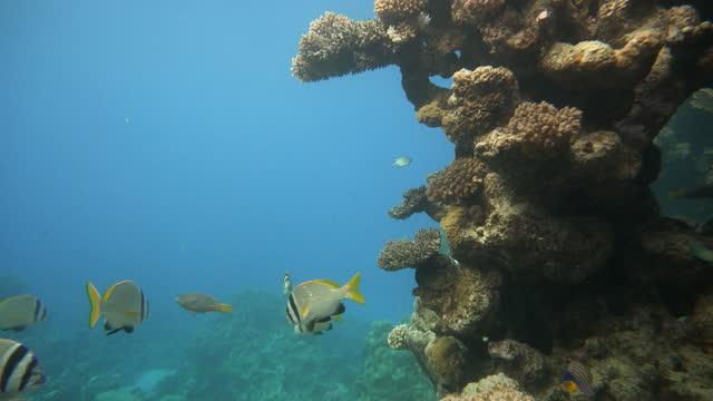 Underwater life in the ocean. Tropical fish. video