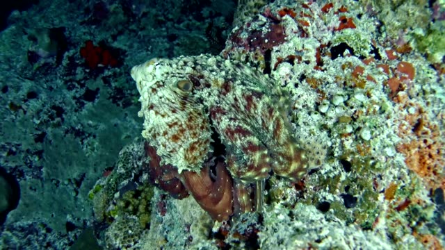 underwater life. multi colored octopus hiding on coral reef. camouflage - octopus stock videos & royalty-free footage