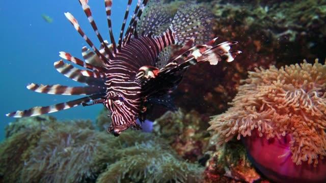 underwater lionfish aka zebrafish (pterois volitans) on coral reef - zachowanie zwierzęcia filmów i materiałów b-roll