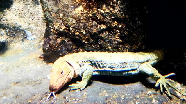 Underwater lizard crawling in fish tank