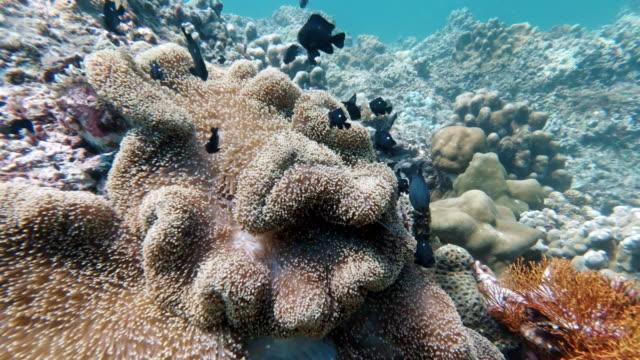 水上メルテンのイセノモネ(スティコダクティラ・メルテンシ)(カクレオナシィとダミッシュを含む) - デイフェンス点の映像素材/bロール