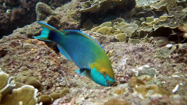 サンゴ礁のサンゴを食べる水中ブダイ (scarus prasiognathos) - 魚点の映像素材/bロール