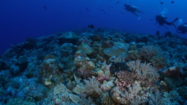 vídeos y material grabado en eventos de stock de arrecife submarino, esquina azul, palau - sea life park