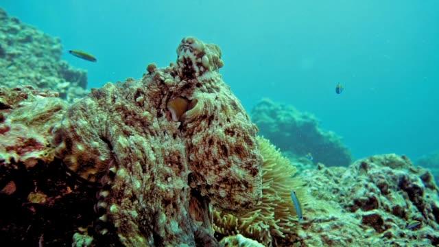 underwater reef octopus (octapus cyanea) camouflaged on coral reef - kamuflaż filmów i materiałów b-roll