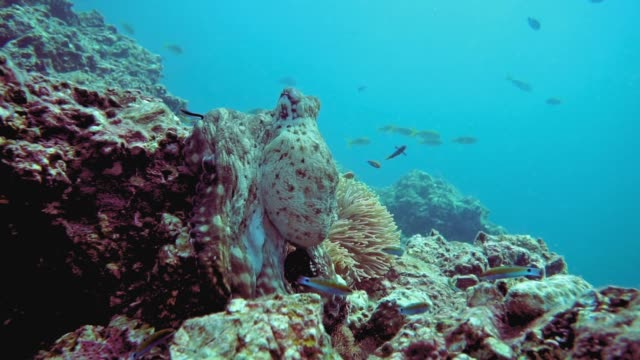 underwater reef octopus (octapus cyanea) camouflaged on coral reef - octopus stock videos & royalty-free footage