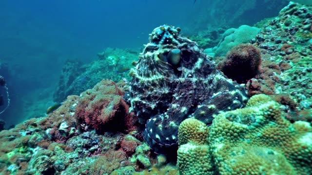 underwater reef octopus (octapus cyanea) camouflaged on rocks - kamuflaż filmów i materiałów b-roll