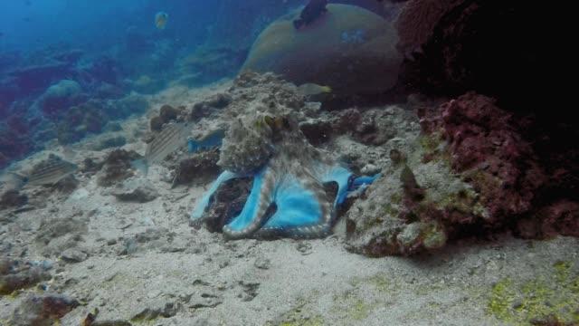 水中礁岩からタコ (オクトパス cyanea) 解凍魚 - こっそり点の映像素材/bロール