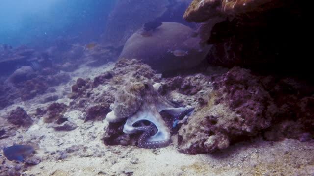 underwater reef octopus (octapus cyanea) hunting on coral reef - kamuflaż filmów i materiałów b-roll
