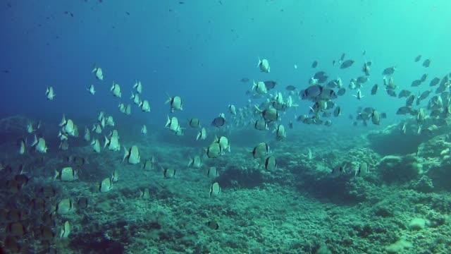 Underwater scene - Two banded breams shoal in a reef Marine life of the Mediterranean sea. Underwater footage taken in Majorca Spain ocean floor stock videos & royalty-free footage