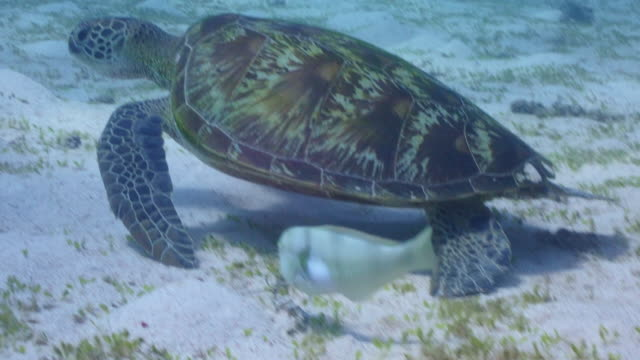 Underwater scuba diving with large green sea turtle.