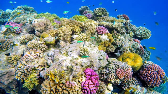 Underwater sea life coral reef on Red Sea Beautiful Coral reef with Damselfisch Red Sea / Egypt coral cnidarian stock videos & royalty-free footage