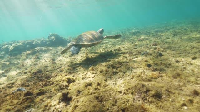 unterwasser-meeresschildkröte schwimmt in die ferne. - schilf stock-videos und b-roll-filmmaterial