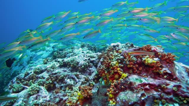 vidéos et rushes de sous-marin poisson de banc de vivaneaux (lutjanus lutjanus) - mer d'andaman