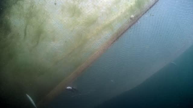подводная съемка живой рыбы омуля запуталась в рыболовной сети на озере байкал. - морской окунь стоковые видео и кадры b-roll
