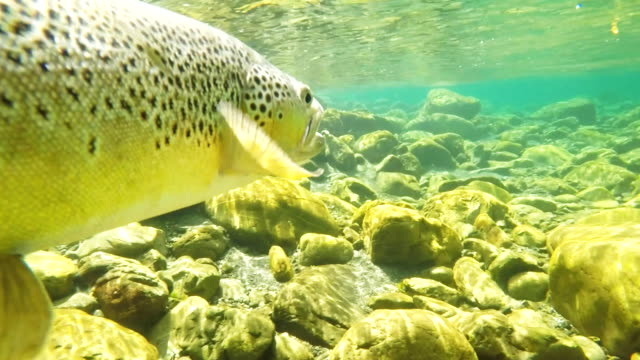 underwater shot brown trout being released in 60p - trout video stock e b–roll
