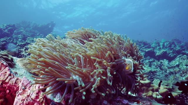 vídeos y material grabado en eventos de stock de pescado payaso de pez anémonado skunk subacuático (amphiprion ephippium) en magnífica anémona de mar (heteractis magnifica) - coral cnidario