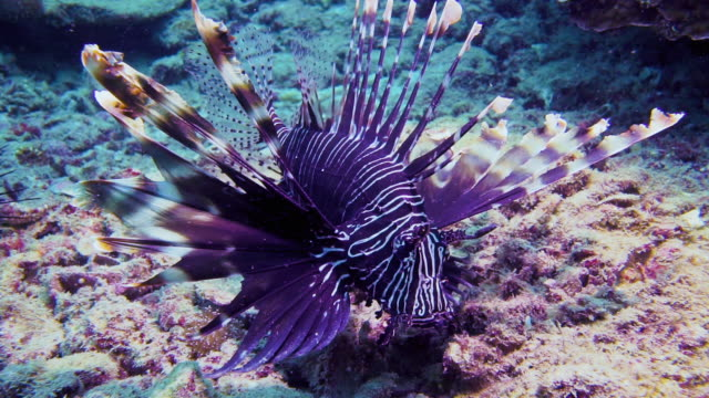underwater venemous lionfish aka zebra fish (pterois volitans) - морская рыба стоковые видео и кадры b-roll