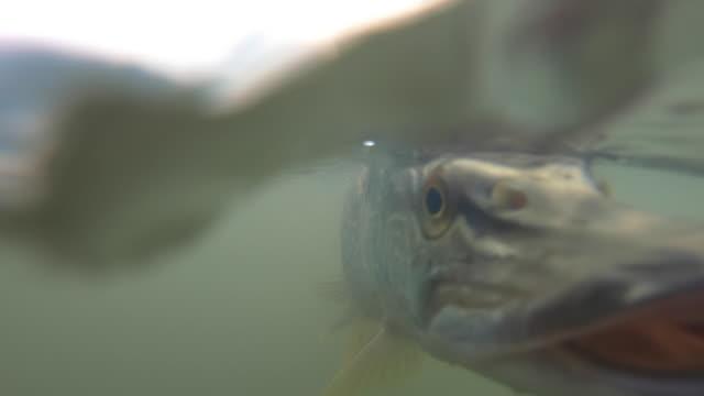 vista subacquea del pesce luccio - acqua dolce video stock e b–roll