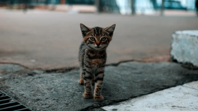Undomesticated Lost Kitten Cat Meowing in Public Area in Istanbul
