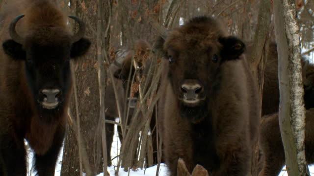 Einhorn bison – Video