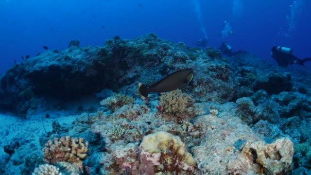 vídeos y material grabado en eventos de stock de unicornfish, pez loro en arrecife submarino - micronesia