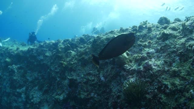 vídeos y material grabado en eventos de stock de unicornfish natación, arrecife submarino - zona pelágica