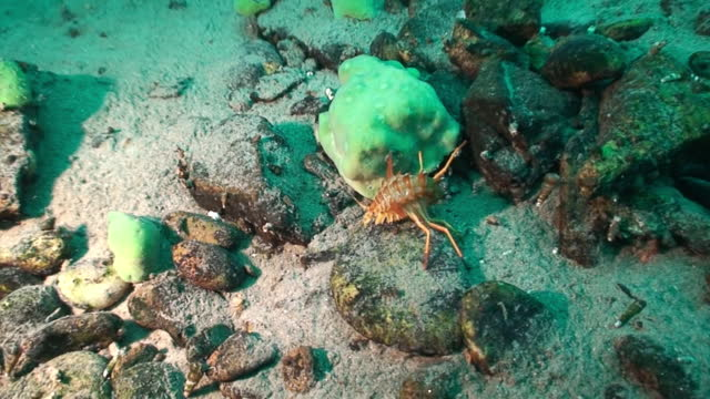 vídeos de stock e filmes b-roll de unique endemic crustacean crayfish acanthogammarus underwater lake baikal. - lago baikal
