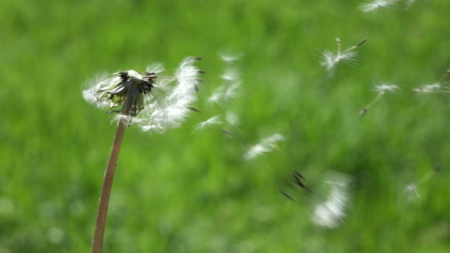 SLOW MOTION, CLOSE UP, Unknown person makes a wish and blows away the fragile dandelion blossom into the air. Fluffy white blowball gets swept away in the strong summer winds.
