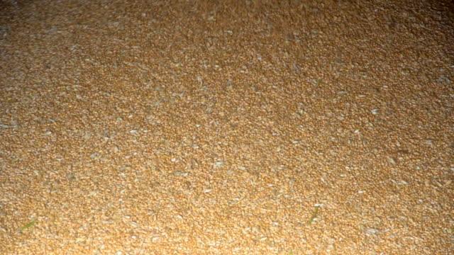 Unloading of grain, wheat unloading video