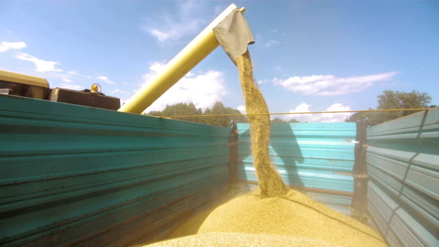 Unloading Wheat Grain HD1080p: Wheat grain falling out of an unloading auger extension into a tractor's trailer. rye grain stock videos & royalty-free footage