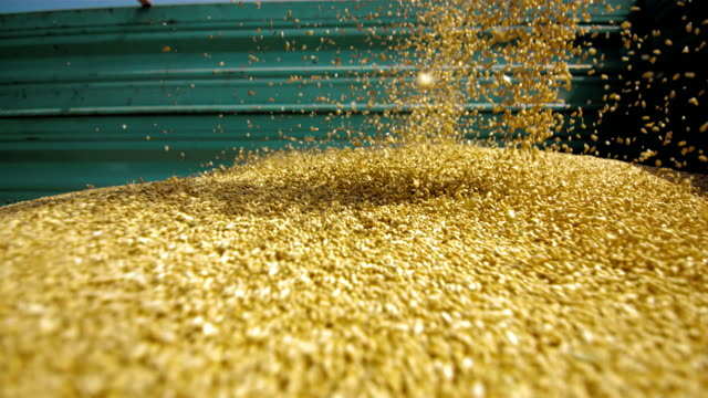 集荷ウィイート穀物(スーパースローモーション) - 大麦点の映像素材/bロール