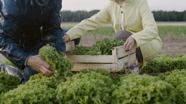 vídeos de stock e filmes b-roll de slo mo unrecognizable couple harvesting lettuce on the field in the rain - engradado
