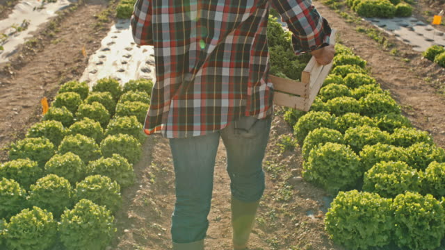 SLO MO Unrecognizable farmer carries a crate full of lettuce across a field Slow motion shot of an unrecognizable farmer carries a crate full of freshly picked lettuce across a field. He is walking away from the camera. Shoot in 8K resolution. plaid stock videos & royalty-free footage