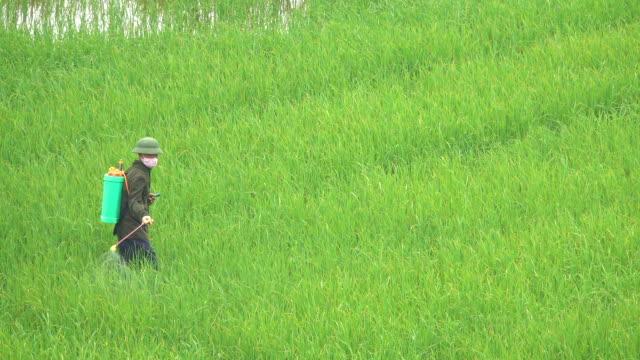 vidéos et rushes de agriculteur méconnaissable pulvérise des pesticides nocifs au-dessus du riz en pleine croissance luxuriant. - herbicide