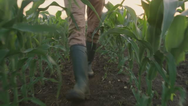 vidéos et rushes de la la fermier méconnaissable marchant parmi de jeunes usines de maïs au coucher du soleil - bottes