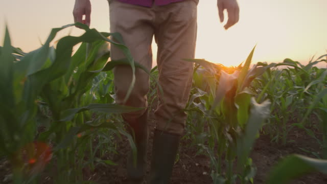 LA Unrecognizable farmer walking among young corn plants at sunset video