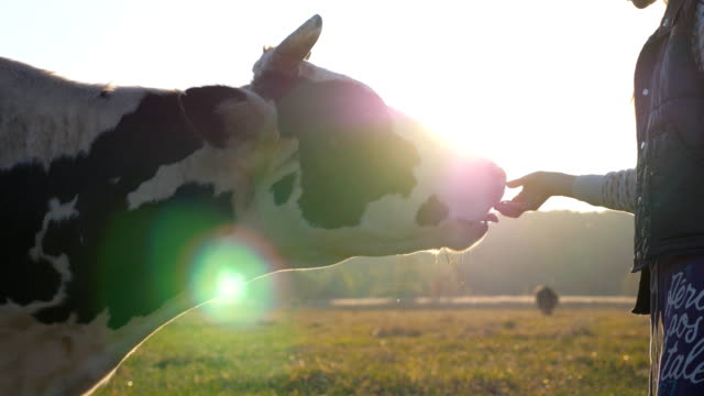 Unrecognizable little girl giving some food to cow. Curious friendly animal eating from female hand. Cattle on pasture. Farming concept. Scenic countryside scene. Slow motion Close up