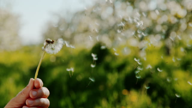 SLO MO Unrecognizable person blowing dandelion Super slow motion close up shot of an unrecognizable person holding and blowing dandelion somewhere in the nature. dandelion stock videos & royalty-free footage