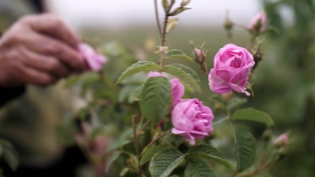 oigenkännlig kvinna plocka rose blossoms, eterisk oljeproduktion - bulgarien bildbanksvideor och videomaterial från bakom kulisserna