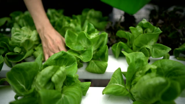 Unrecognized Woman Hand Picking Salad, vegetable in Hydroponic farm. 4K stabilized shot unrecognized woman Hand Picking Salad, vegetable in Hydroponic farm. hydroponics stock videos & royalty-free footage