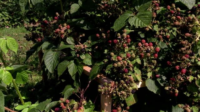 unripe blackberry branch on garden. video