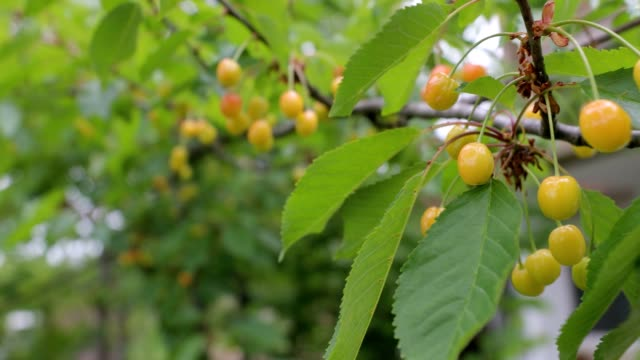 Unripe cherries hanging from a branch with green leaves