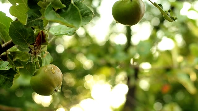 Unripe green apple on a tree branch with leaves. Apple tree garden in the evening Unripe green apple on a tree branch with leaves. Apple tree garden in the evening. Selective focus. Sunset. plant part stock videos & royalty-free footage