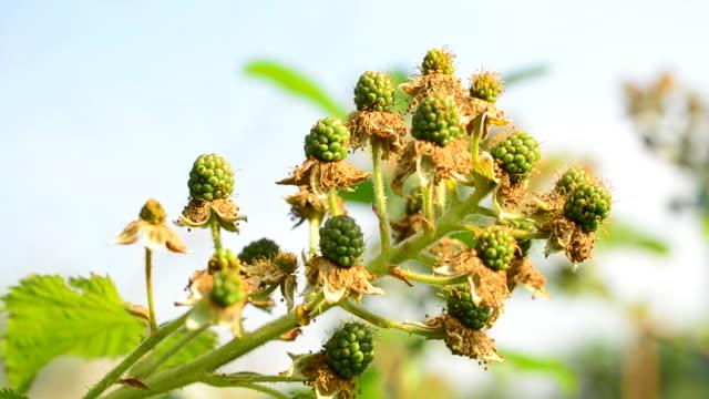 夏に熟していない緑のブラックベリー - 熟していない点の映像素材/bロール