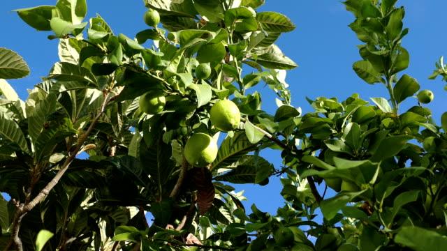 熟していないグリーンレモンズの木の枝 - 熟していない点の映像素材/bロール