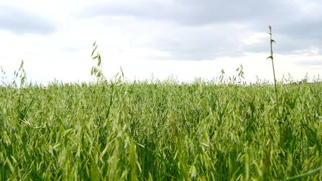 Unripe Oat field, green video