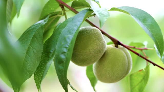 unripe peach on a branch - pesche bambino video stock e b–roll