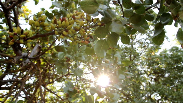 Unripe pistachio in orchard video